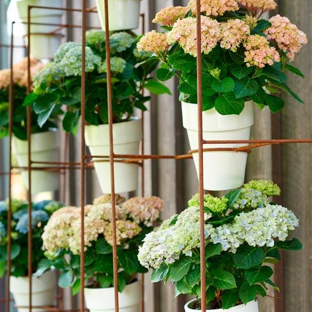 hortensia-magical-alle-farger-varianter-2.jpg