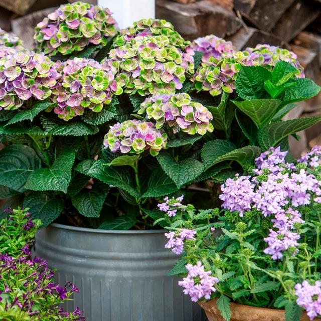 hortensia-magical-lilla-gronne-metall-vase.jpg