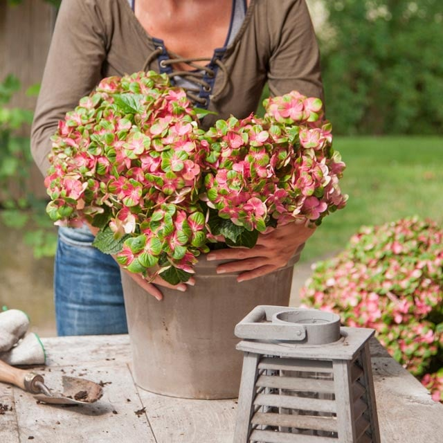 hortensia-magical-rode-gronne-blader-stein-vase.jpg