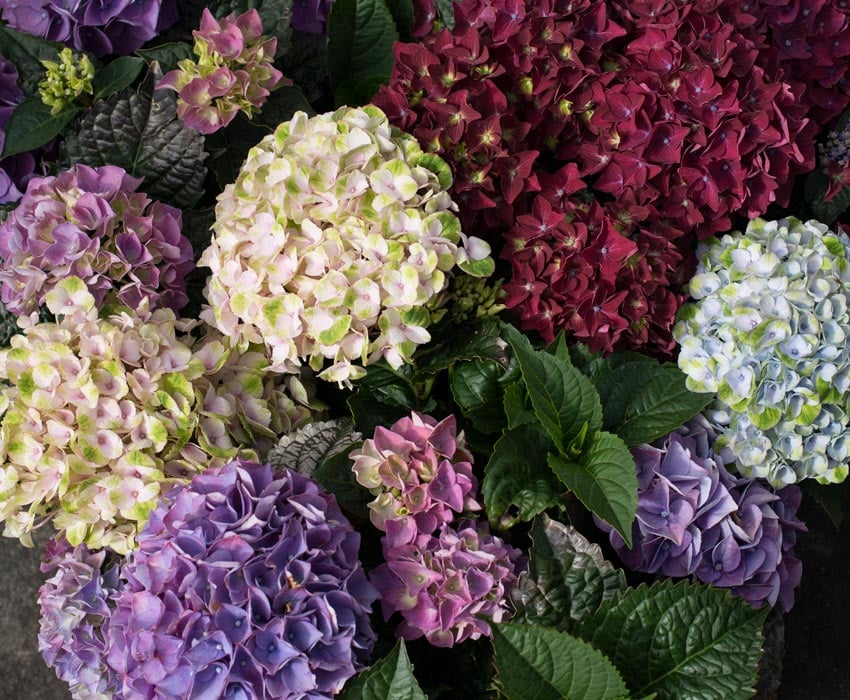 hortensia-magical-hagehortensia-assortert.jpg