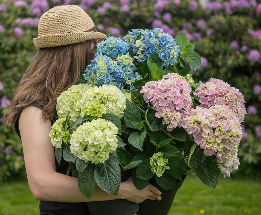 hortensia-magical-hagehortensia-tonje.jpg