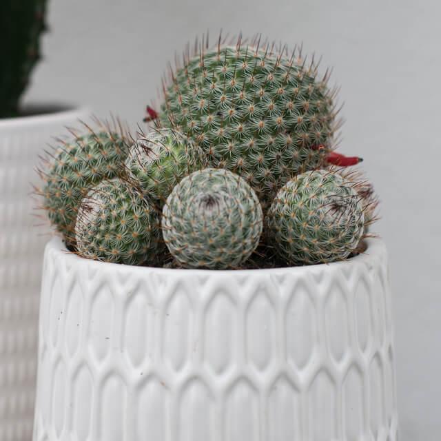 floriss-kaktus-i-krukke.jpg