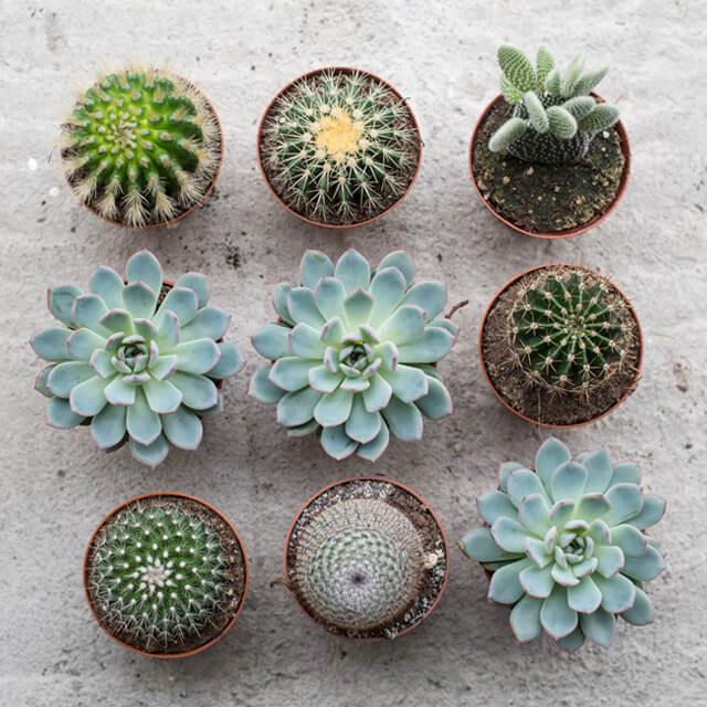 floriss-kaktus-9-stk.jpg