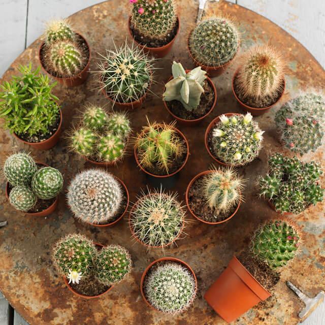 floriss-kaktus-assorterte-fat.jpg
