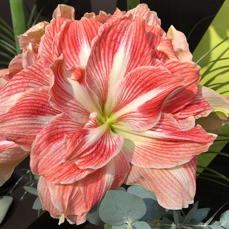 Amaryllis-Apple-Blossom.jpg