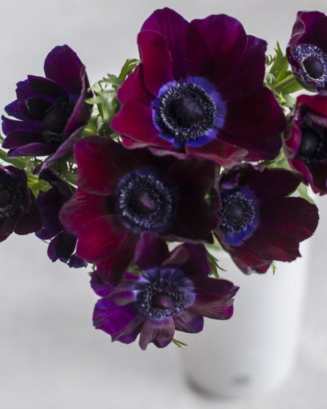 Anemoner-i-vakker-mork-burgunder-farge.jpg