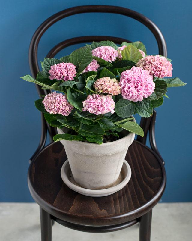 hortensia-magical-ifra-rosa-til-mork-rod.jpg