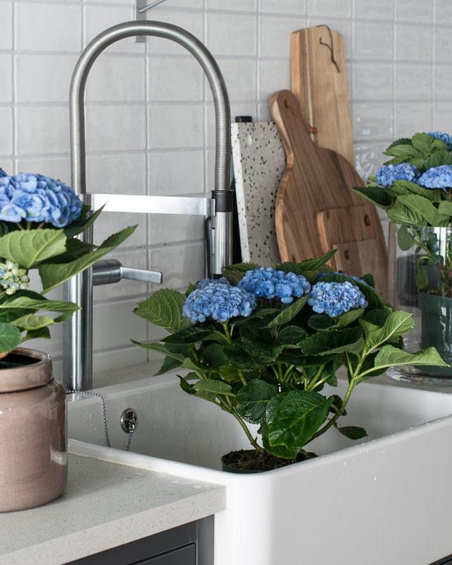 hortensia-magical-liker-godt-aa-bli-dusjet.jpg
