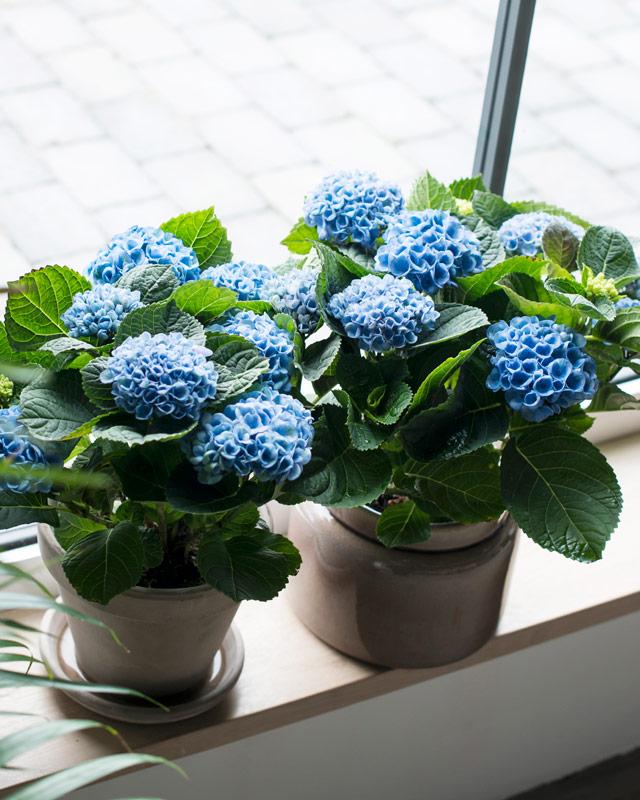 hortensia-magical-blaa-potte-i-vinduet.jpg
