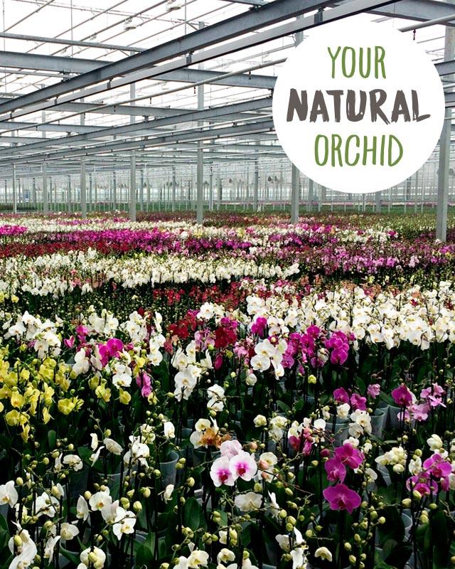 phalaenopsis-orkide-din-naturlige-okide.jpg