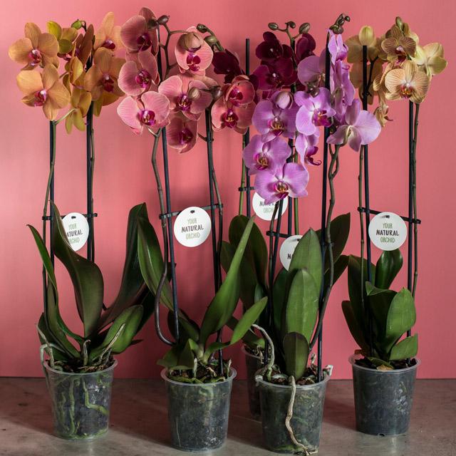 phalaenopsis-orkide-2-for-199-2.jpg