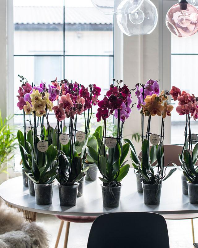 phalaenopsis-orkide-passer-i-alle-rom-2.jpg