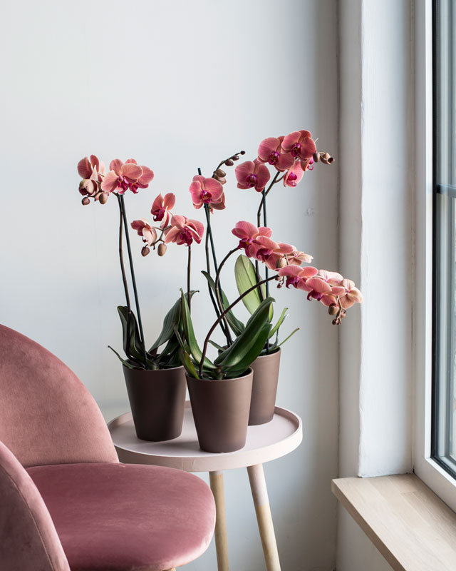 phalaenopsis-orkide-import-mest-anvendt.jpg