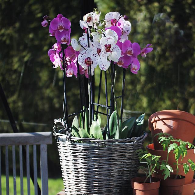 phalaenopsis-orkide-2020.jpg