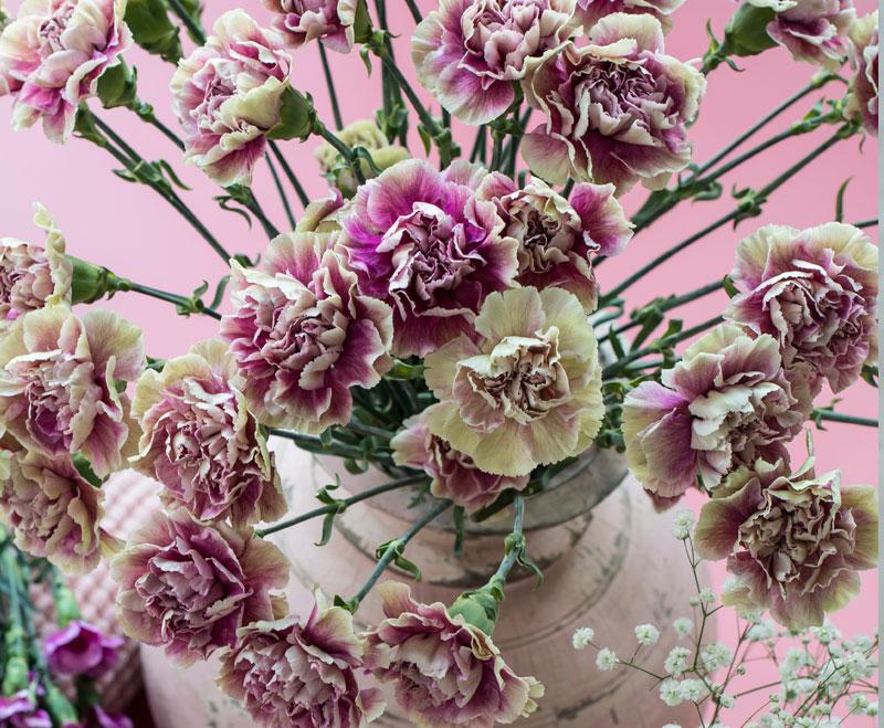 floriss-nellik-dianthus-Caryophyllus-elegance.jpg
