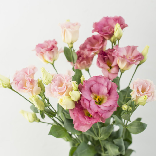 Lisianthus-Arena-Champagne-Pink.jpg