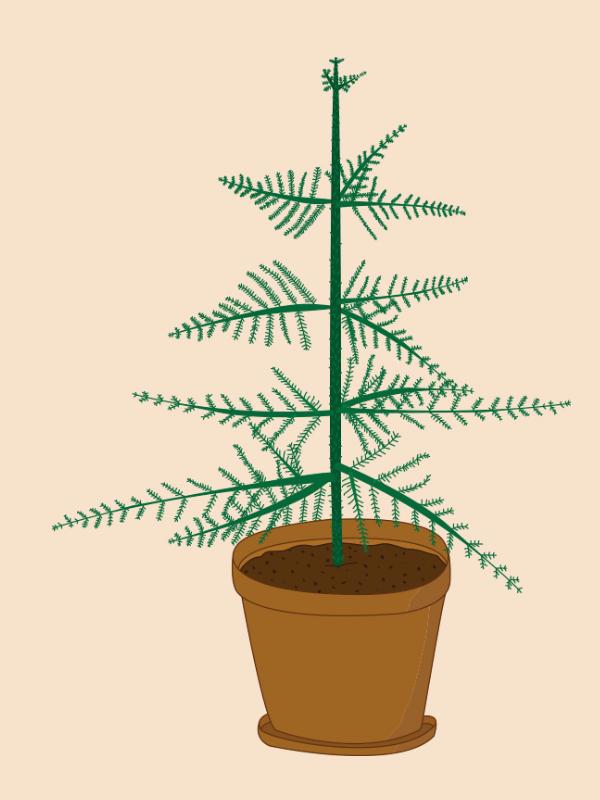 stuegranen-araucaria.jpg