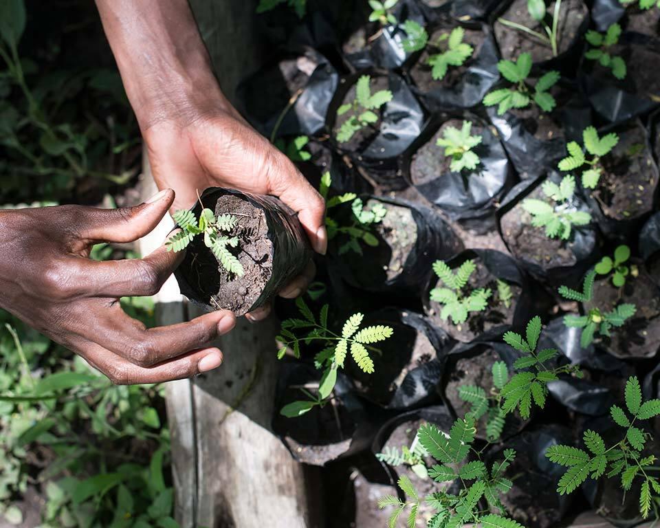 treplanting-i-kenya-avlegger.jpg