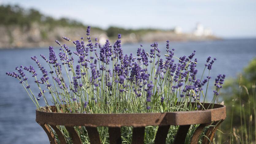 Lavendel gir middelhavsstemning