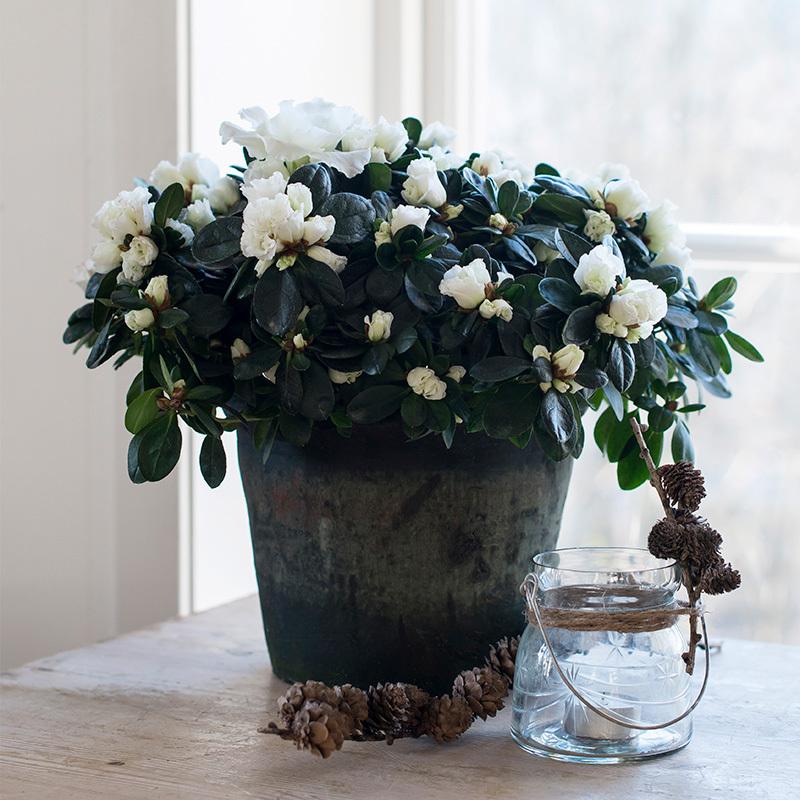 azalea-lyser-opp-i-vintermoerket-paa-bordet-i-boette-vase.jpg