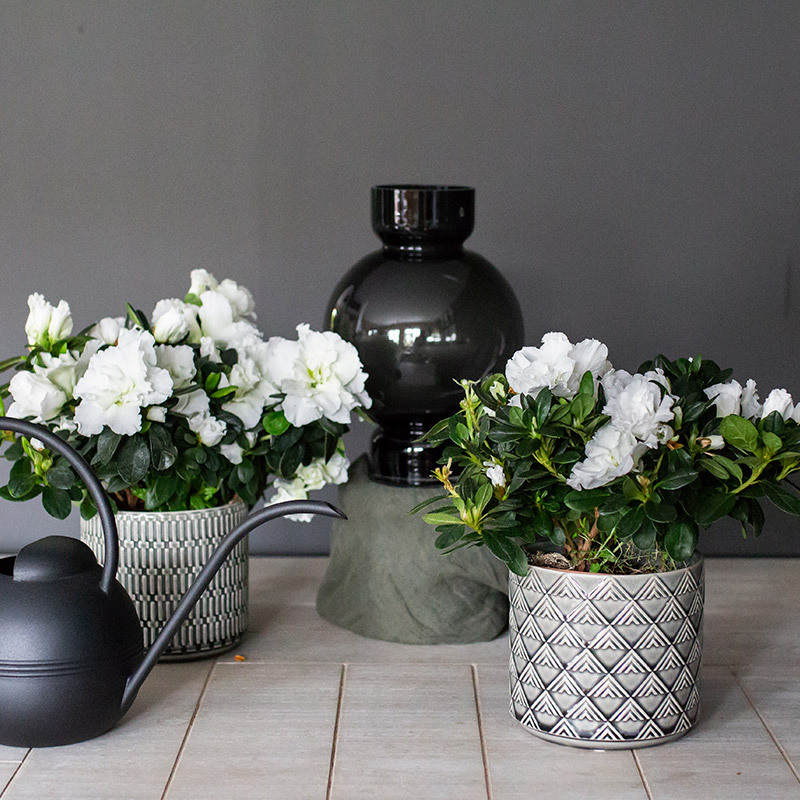 azalea-lyser-opp-i-vintermoerket-azalea-hvit-.jpg