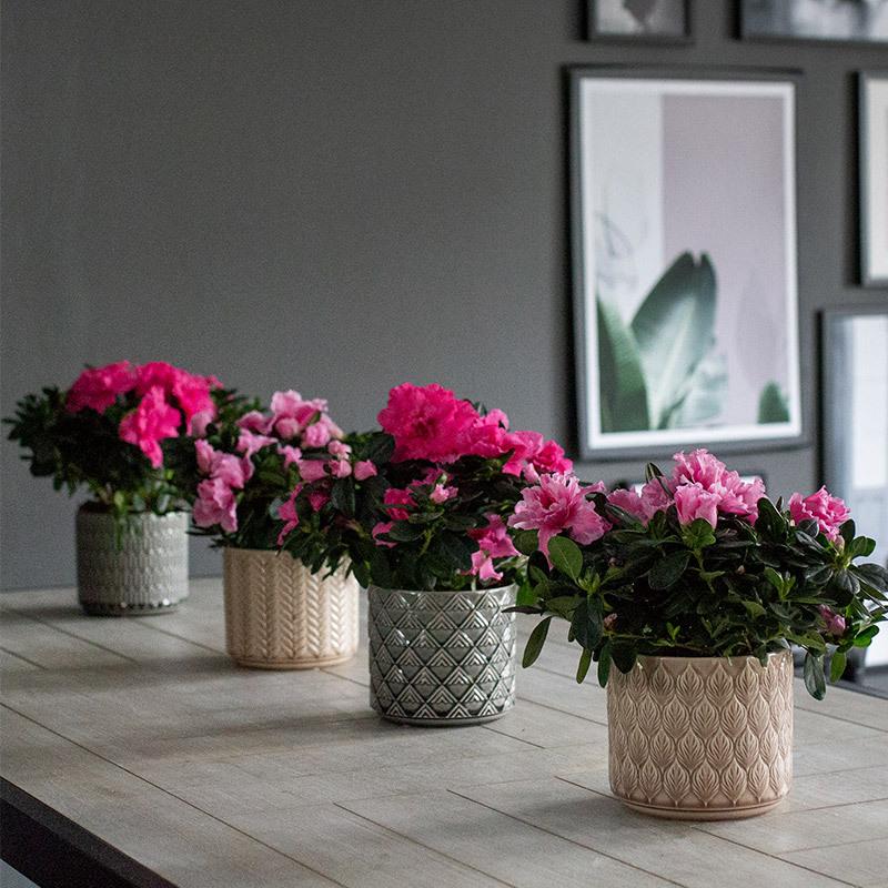 azalea-lyser-opp-i-vintermoerket-azalea-rosa-1.jpg
