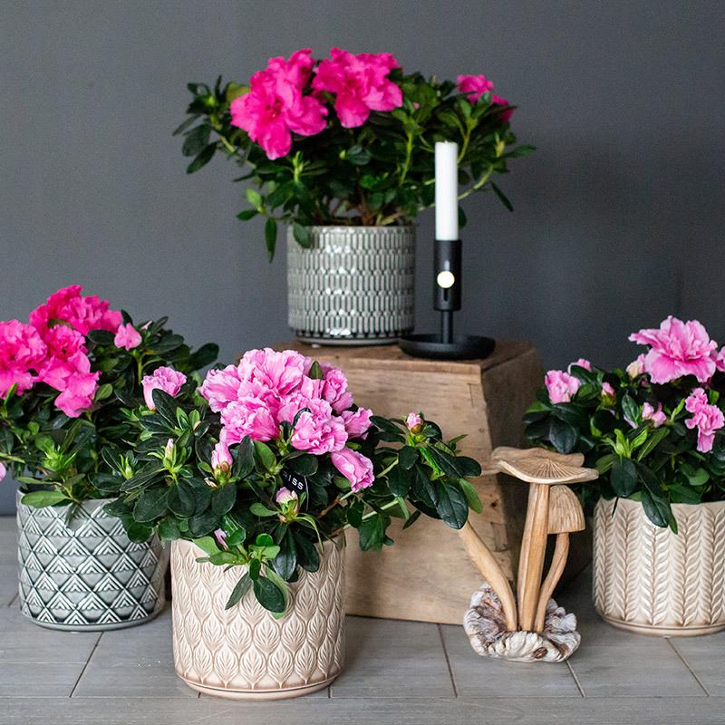 azalea-lyser-opp-i-vintermoerket-azalea-rosa-2.jpg