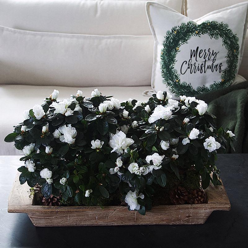 azalea-lyser-opp-i-vintermoerket-hvit 2.jpg