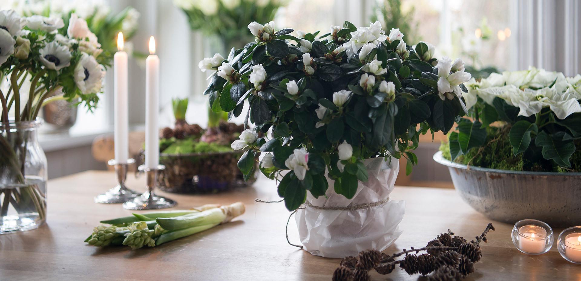 azalea-lyser-opp-i-vintermoerket-hvit-3.jpg