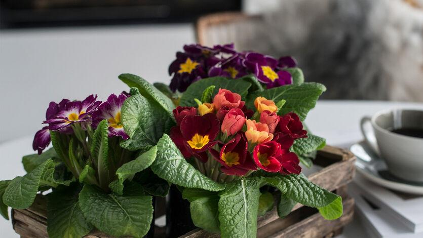Tyvstart våren med<br/> primula og perleblomst