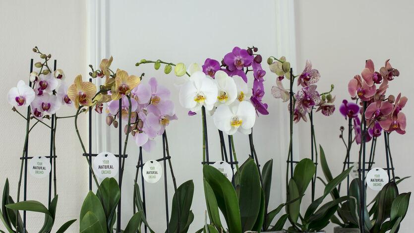 Eksotisk nyttår med phalaenopsis