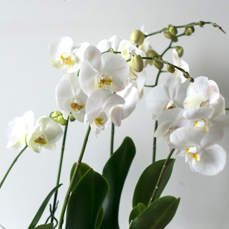 eksotisk-nyttaar-med-phalaenopsis-orkide-hvit.jpg