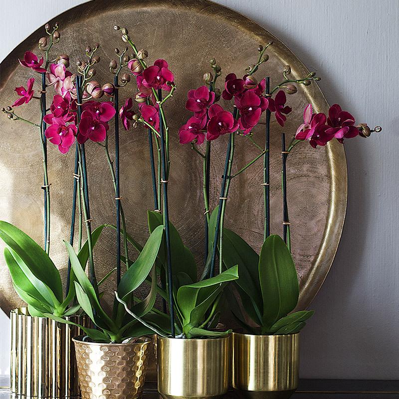 eksotisk-nyttaar-med-phalaenopsis-orkide-i-potter-med-fat-som-bakgrunn.jpg
