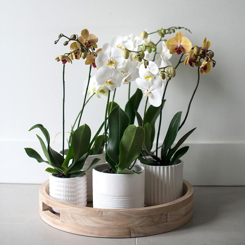 eksotisk-nyttaar-med-phalaenopsis-orkide-i-potter-samlet-brett.jpg
