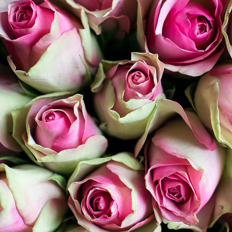 roser-i-alle-farger-og-fasonger-rose-bellevue-dsc0966.jpg