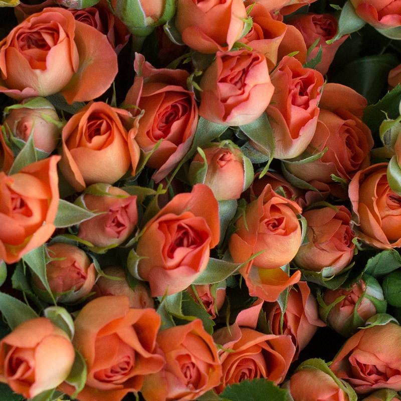 roser-i-alle-farger-og-fasonger-yellow-and-orange-babe-grenroser-dsc1905.jpg