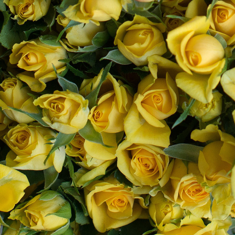 roser-i-alle-farger-og-fasonger-yellow babe.jpg