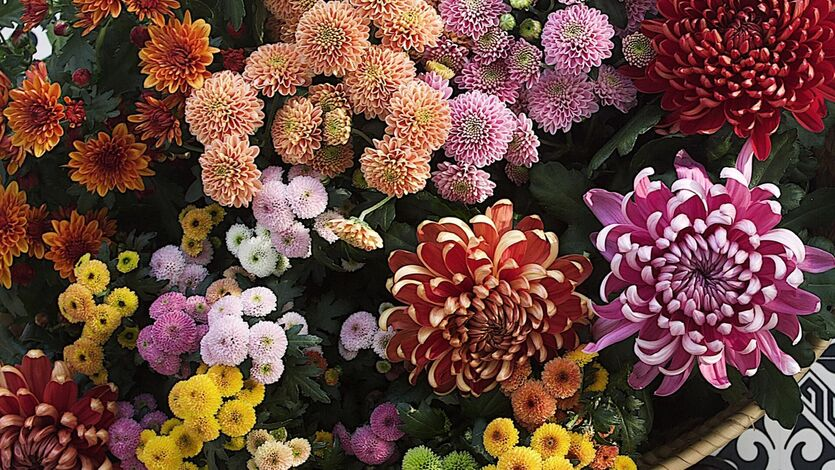 Vakre, vidunderlige krysantemum