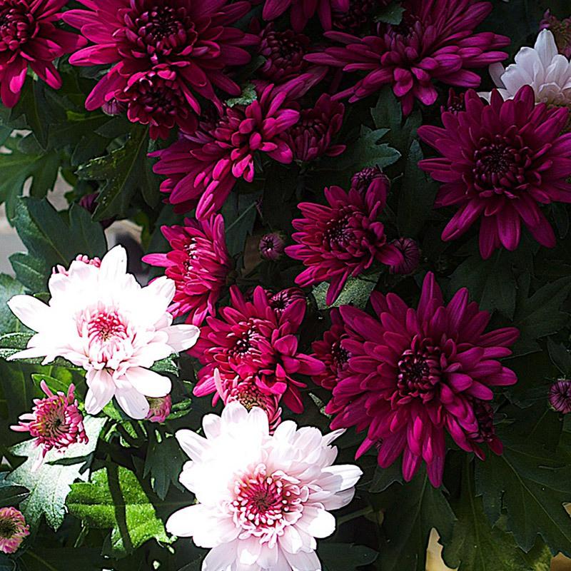 floriss-candy-cryss-rossano-kryssantemum-1.jpg