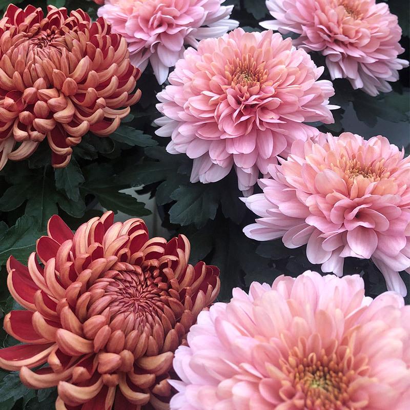 floriss-krysantemum-candy-rosa-chrysanthemum-2.jpg