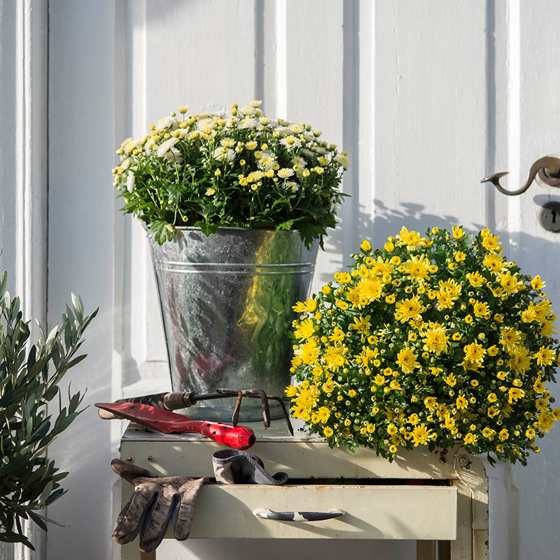 floriss gule og hvite krysantemum.jpg