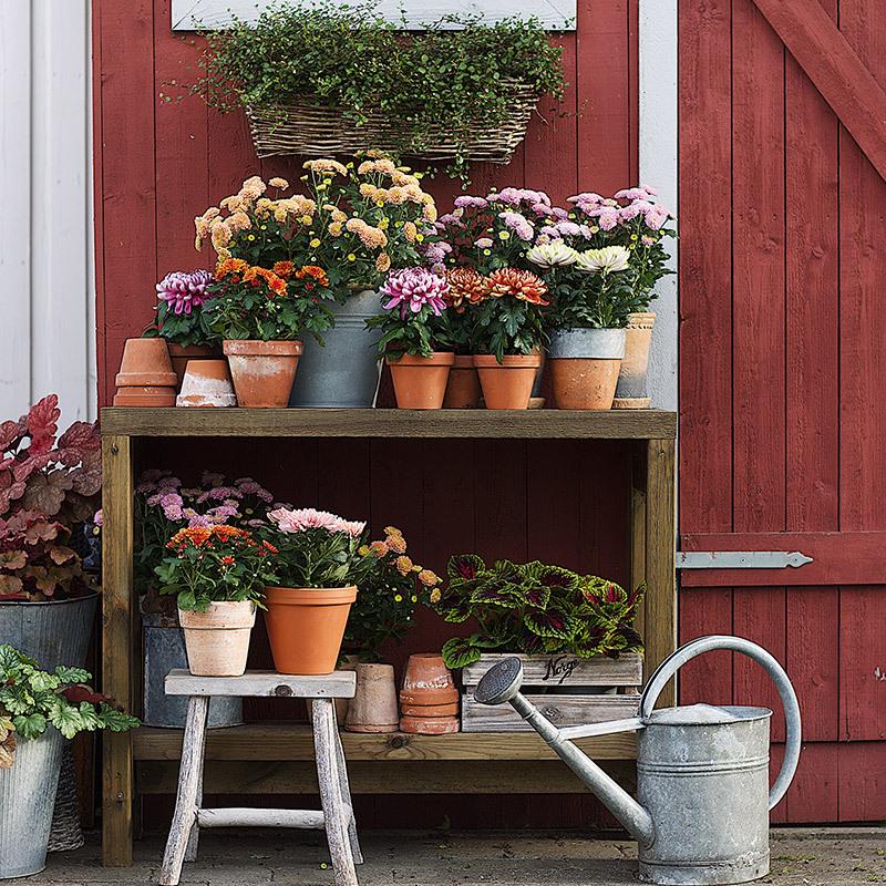 floriss-mix-august-krysantemum.jpg