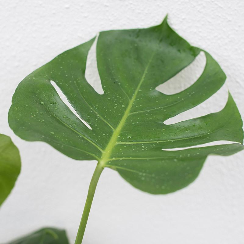 groenne-planter-monstera-vindusblad-2.jpg