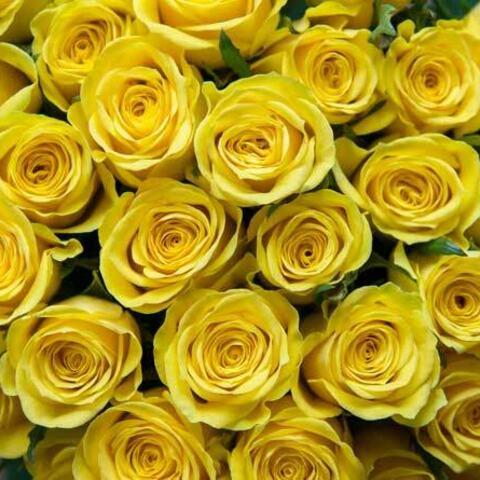 gule-roser_favorittroser_DSC4742