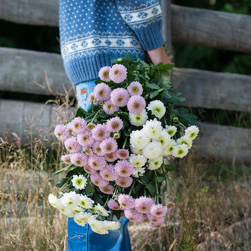 floriss-vaarblomster krysantemum.jpg