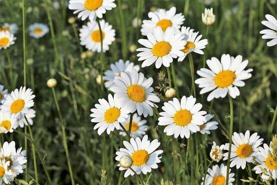 daisy-3378126_1280