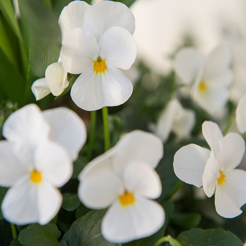 stemor-hvit-floriss.jpg