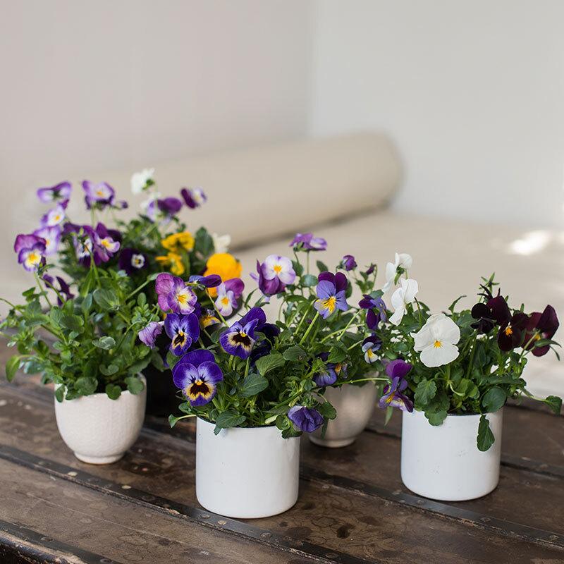 stemor-i-potter-paa-bord-hvit-lilla-gul-floriss.jpg
