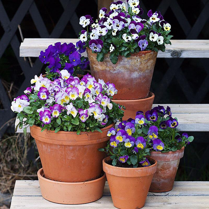 stemor-potteplante-uteplass-lilla-floriss.jpg