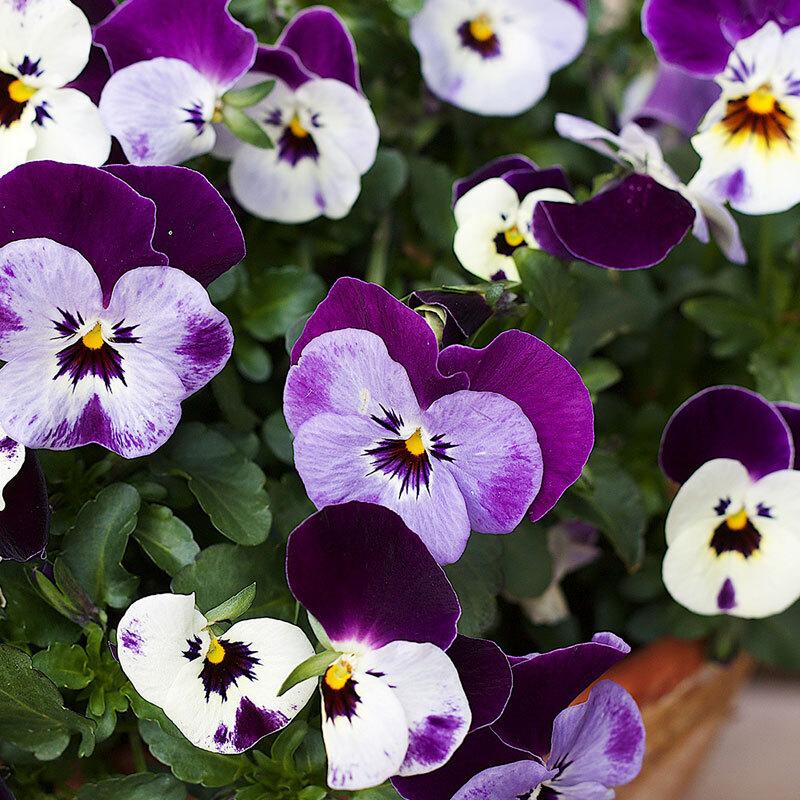 stemor-toerste-vaarfavoritter-lilla-floriss.jpg